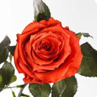 Долгосвежая роза в подарочной упаковке FLORICH Кофейный Топаз (5 карат на коротком стебле)