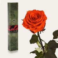 Долгосвежая роза в подарочной упаковке FLORICH Огненный Янтарь (7 карат на коротком стебле)